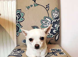 Beautiful chihuahuas need new homes