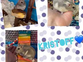 Dwarf Hamster - Kristoff
