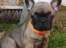 KC FRENCH BULLDOG PUPPYS READY IN 4 DAYS