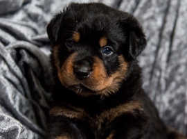 Looking for Rottweiler Puppy to join our family