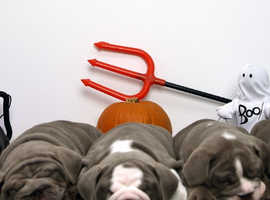 Great quality english bulldog puppies