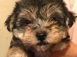 Beautiful morkie girl 9weeks old