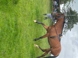 SOLD New forest mare