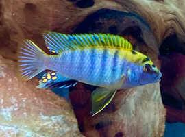 Lake milawi Labidochromis Hongi Sweden Cichlids