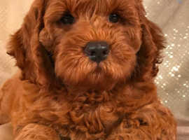 Wanted Red F2 or F1 miniature Cockerpoo Male