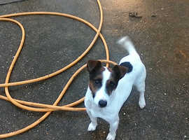 jackrussell dog