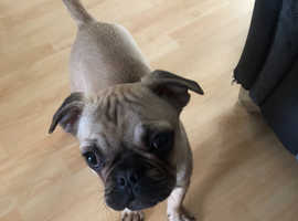 Frug puppy for sale