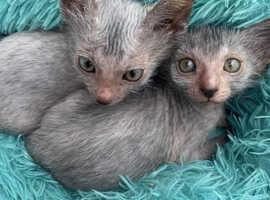 Lykoi kitten girls