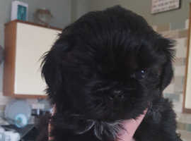KC Registered Shih Tzu puppies