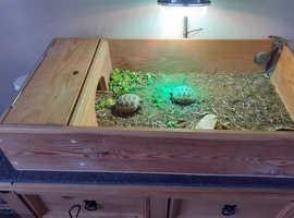 Horsefield Tortoises and enclosure