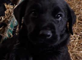 Adorable Black Goldador Puppies for Sale