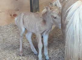 Miniature Horse /shetland x colt foal