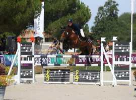 GP Connemara stallion