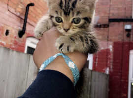 Beautiful tabby male kitten for sale