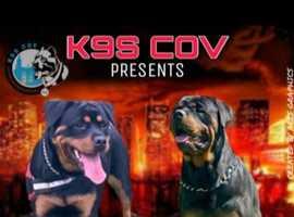 Working Rottweiler puppies due