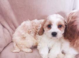 Gorgeous Cavachon Puppies