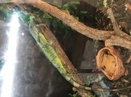 Female 2 year old iguana