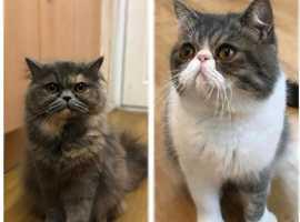 Exotic Kittens Waiting List Open
