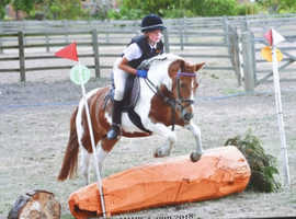 Stunning all rounder 12.2hh, 10 year old mare