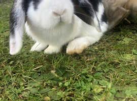 VACCINATED baby rabbit