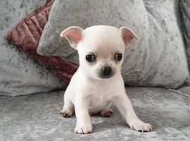 Beautiful Chihuahuas