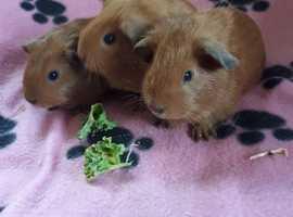 BEAUTIFUL  BABY  GUINEA PIGS CALI X