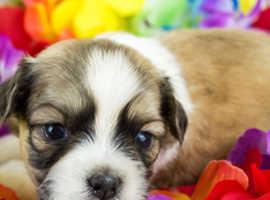 Shih Tzu Imperial Puppies FY8 Lancs
