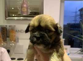 Lhasa apso baby girl looking for her forever home
