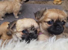 shih tzu pupies for sale