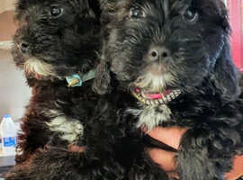 Beautiful Lhasapoos Pups For Sale £800