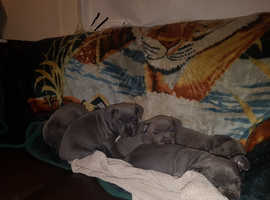 SOLD!!! Staffy pups