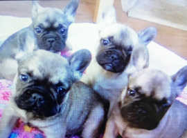 French Bulldogs & Puppies in Hertfordshire | Find Dogs