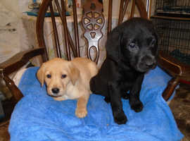 Lab Pups, K.C Reg, Yellow and Black, Dogs and Bitches, great working pedigree, 7 and a half weeks Old