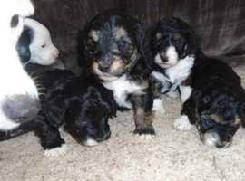 JockaShitzPoo puppies - Ready NOW!