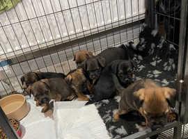 KC border terriers pups