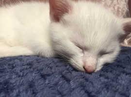 White gem kittens