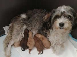Cavapoochon pups 3 girls 3 boys