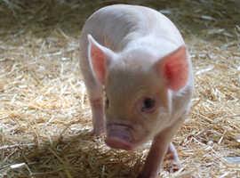 Miniature Piglets for Sale