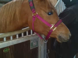 Beautiful chestnut arabian mare with top bloodlines