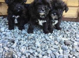 Shitzu x poodle puppies