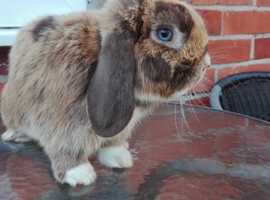 Mini lop boy