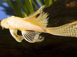 Longfin Albino Bristlenose pleco Breeding Pairs
