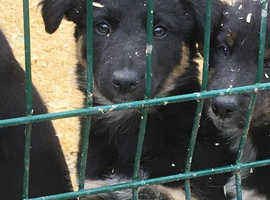 Border collie cross pups for sale