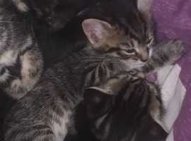 Female short haired tabby/white