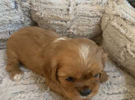Cavaliers King Charles Spaniel puppies