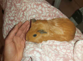 2 GUINEA PIGS with 8x4 C&C cage with used correx. Spare Correx included. Spare felt blanket included.