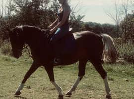 14.2 pony