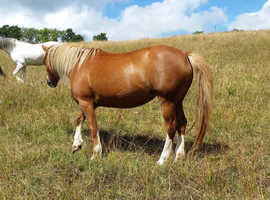 Gorgeous Welsh homebred mare by Forlan Humdinger