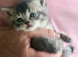 Pedigree British Shorthair Kittens Manchester