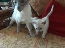 Tonkinese/Siamese Kittens